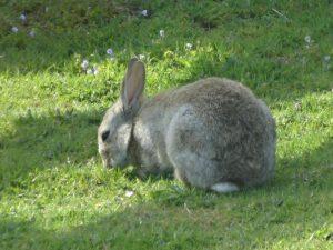 auchenlarie caravan rabbit